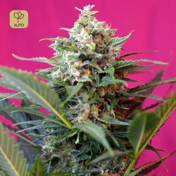 Big Devil XL Auto · Sweet Seeds