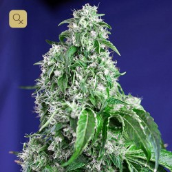 Big Devil F1 Fast Version · Sweet Seeds