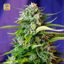 Jack 47 Auto · Sweet Seeds