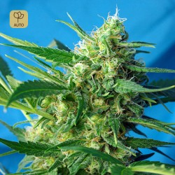 Ice Cool Auto · Sweet Seeds