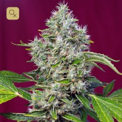 San Fernando Lemon Kush · Sweet Seeds