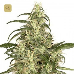 Skunk 11 · Dutch Passion