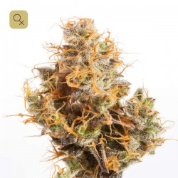 CBD Groom Lake · Mr Natural Seeds