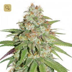 Glueberry OG · Dutch Passion