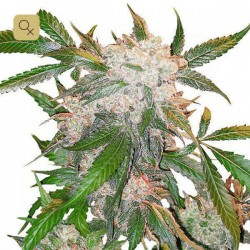 White Widow · Dutch Passion