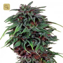 Durban Poison · Dutch Passion