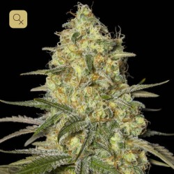 Black Dream · Eva Seeds