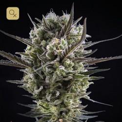 Llimonet Haze Clásica CBD · Elite Seeds