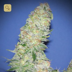 Mota Khan Afghana · Elite Seeds