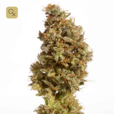 Atomic Jukebox · Mr. Natural Seeds