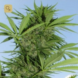 Easy Sativa · Female Seeds