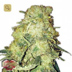 Goldmine · Heavyweight Seeds