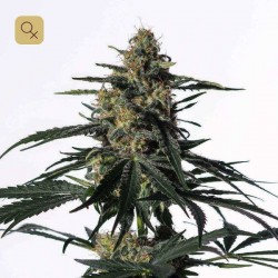 Nightingale (NN-1) · Medical Marijuana Genetics
