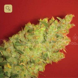 Jack La Mota · Medical Seeds