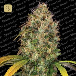 Dutch Kush · Paradise Seeds