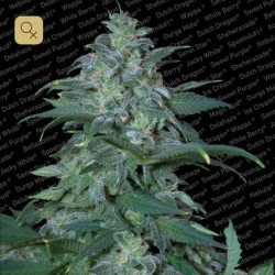 Magic Bud · Paradise Seeds