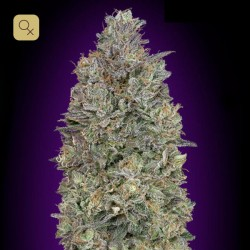 Critical Purple Kush · Advanced Seeds
