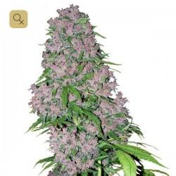Purple Bud Fem · White Label