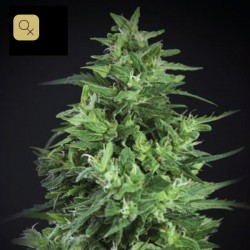 Llimonet Haze Ultra CBD · Elite Seeds