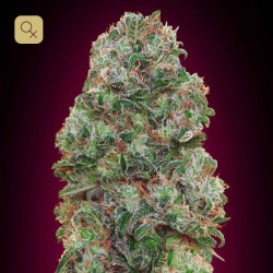 Bubble Gum · 00 Seeds