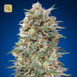 California Kush · 00 Seeds
