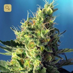 Sweet Pure CBD · Sweet Seeds
