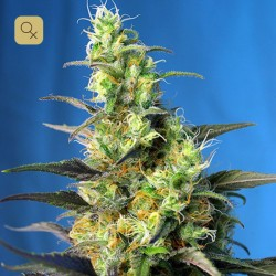 Ice Cool CBD · Sweet Seeds