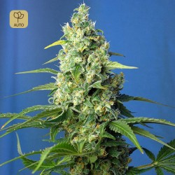 Honey Peach Auto CBD · Sweet Seeds