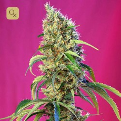 Black Jack CBD · Sweet Seeds