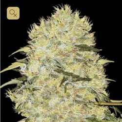 Bubblegum Extra · Bulk Seed Bank