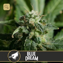 Blue Dream · Blimburn