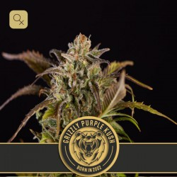 Grizzly Purple Kush · Blimburn