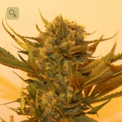 Sour P · Resin Seeds