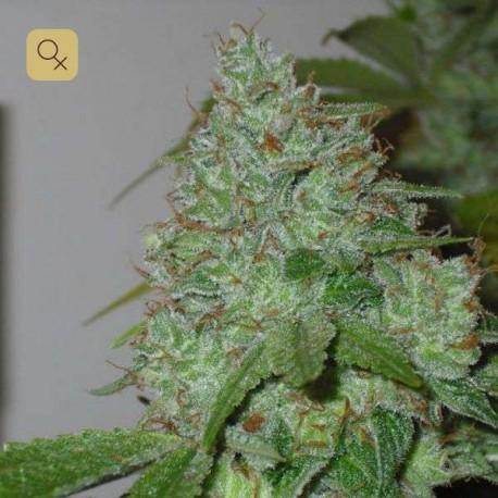 Chem OG · Female Seeds
