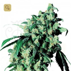 Super Skunk · Sensi Seeds