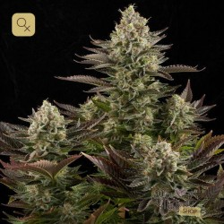 White Widow · Dinafem