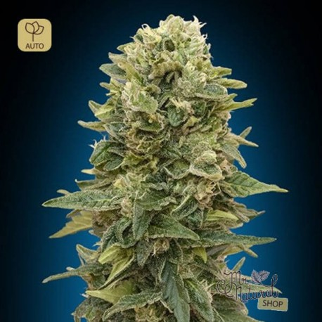 Auto Afghan Mass · 00 Seeds