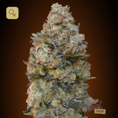 Chocolate Skunk · 00 Seeds