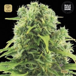 Auto Northern Light · Bulk Seed Bank
