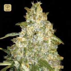 Auto Good Wild Shark · Bulk Seed Bank