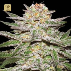 Auto Caramel King · Bulk Seed Bank