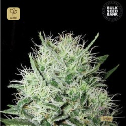 Auto Devil´s Kiss · Bulk Seed Bank