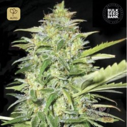 Auto Lime Skunk · Bulk Seed Bank