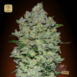 Auto Bio Diesel Mass · Advanced Seeds