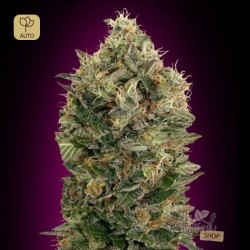 Auto Black Diesel · Advanced Seeds