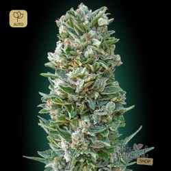 Auto Heavy Bud · Advanced Seeds