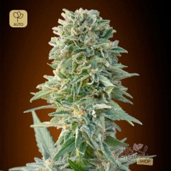 Auto Jack Herer · Advanced Seeds