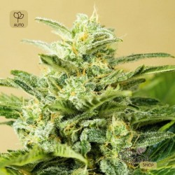 Auto Low Girl · Advanced Seeds