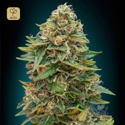 Auto Skunk 47 · Advanced Seeds