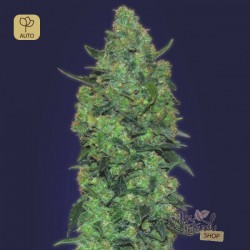 Auto Skunk Mass · Advanced Seeds